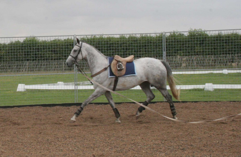 The Harbridge, as it is attached between the front legs is a good aid for horses that carry their heads way too high; as a consequence of head-lowering the back muscles begin to be stretched out.   Before using, check that a high head carriage is not due to discomfort somewhere.